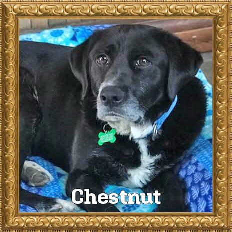 Chestnut Adoptable