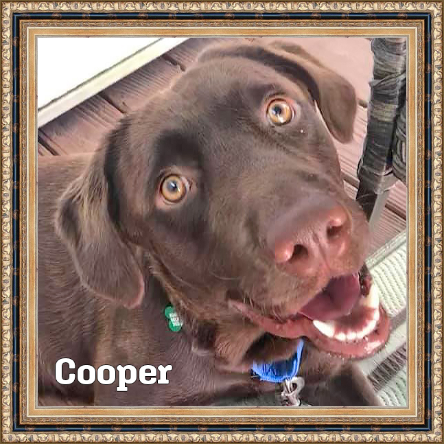 adoptable chocolate lab